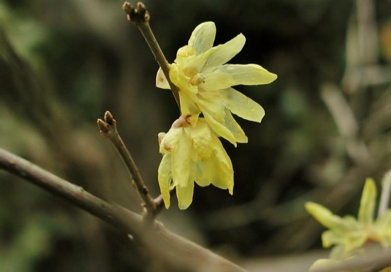 葉山アルプスの谷戸に咲くソシンロウバイ