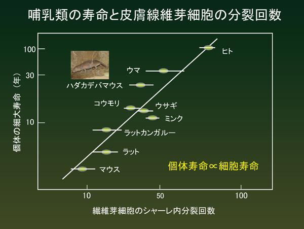 哺乳類の寿命と皮膚線維芽細胞の分裂回数