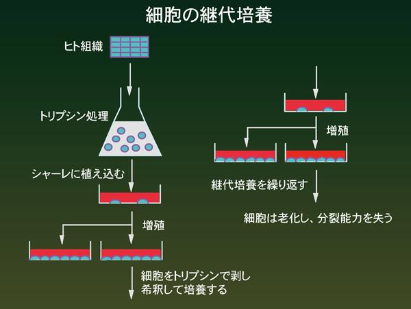 細胞の継体培養
