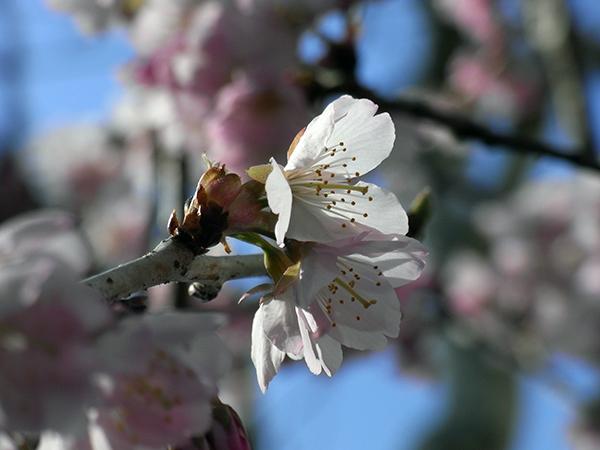 サクラ、咲く